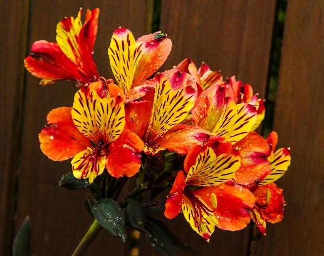 Inca lilies - Kiloran Townsend