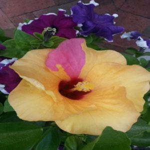 Hibiscus - Sheila Kirkwood