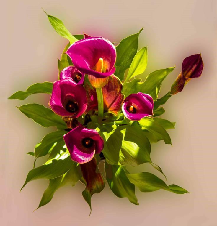 Arum Lilies - Kiloran Townsend