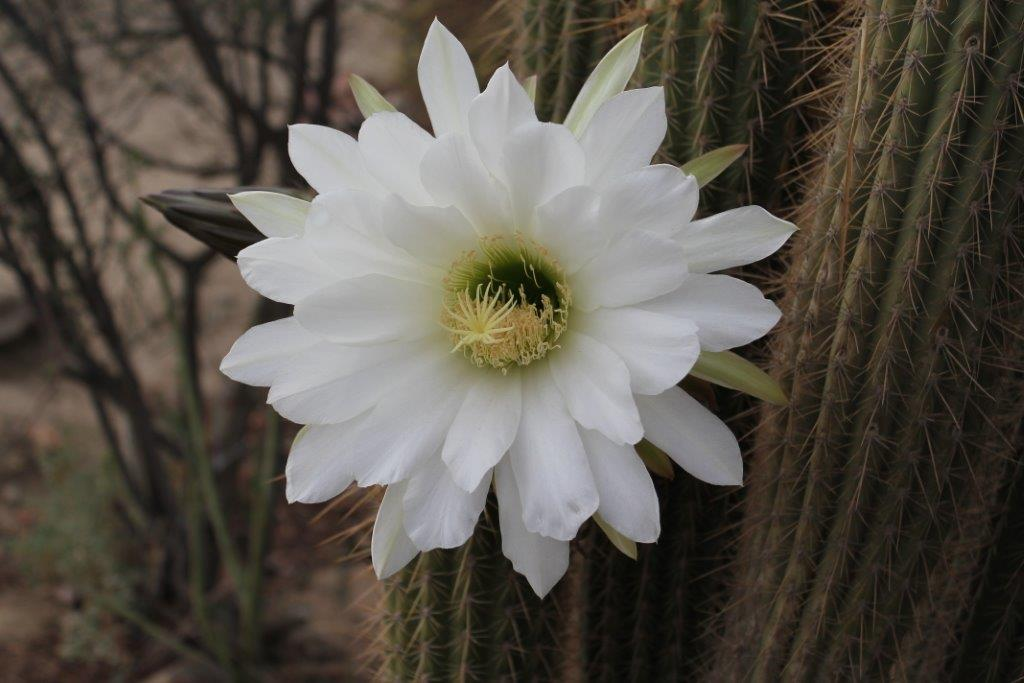 Cactus flower - Marlene Burt
