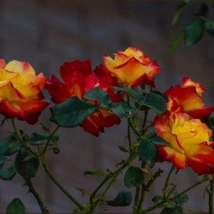 Durban July Rose - Kiloran Townsend