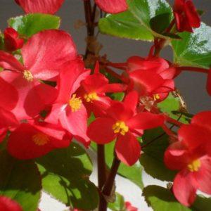 Begonia - Jenny Barclay