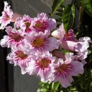 Pink Trumpet Vine - Kiloren Kirkwood