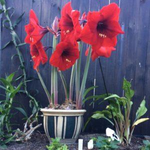 Red Grand Amaryllis - Sue Beele