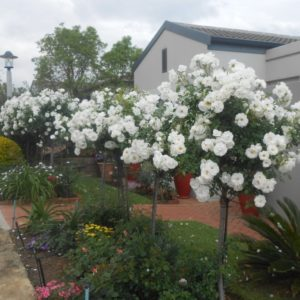 White Roses - Aileen Langmead