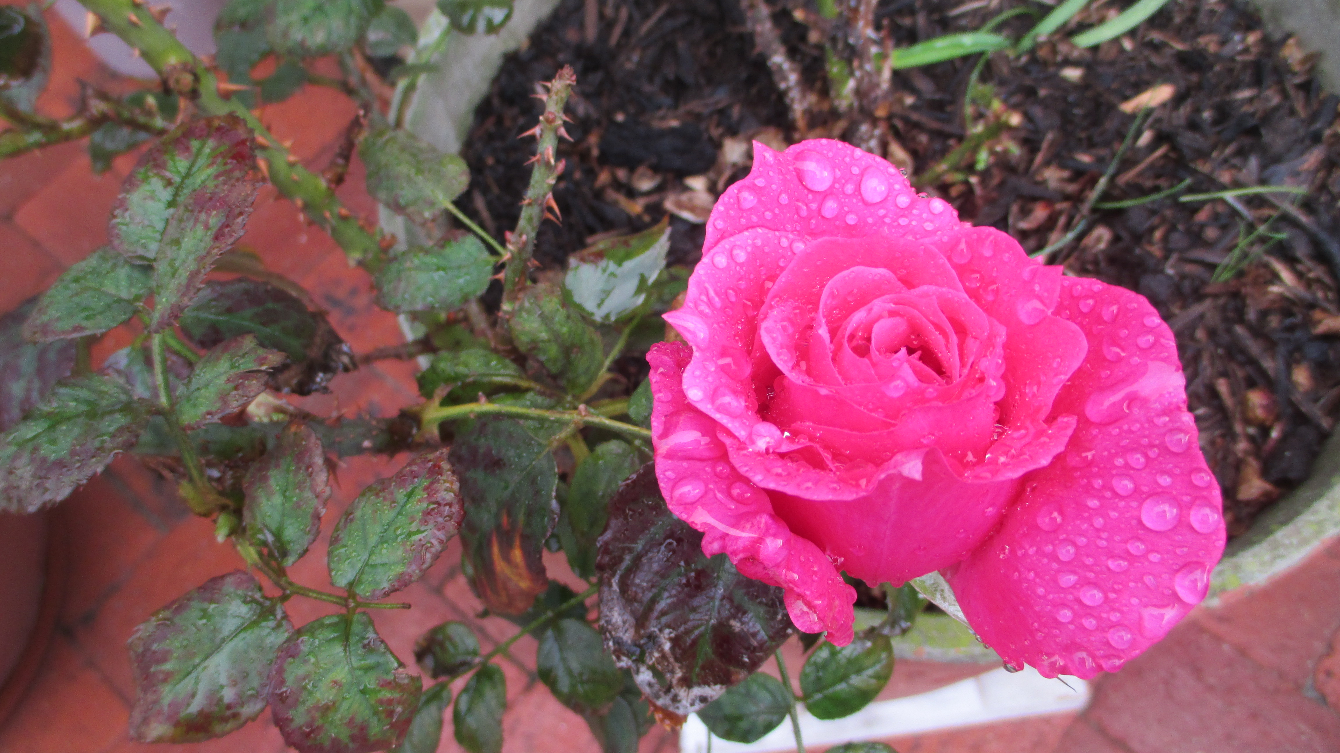 Cerise Rose - Sue Beele